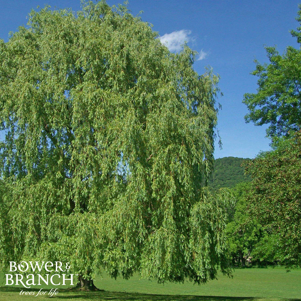 Uxbridge Willow Trees