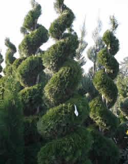 Evergreen Trees Amp Shrubs Perreault Nurseries Grafton Ma