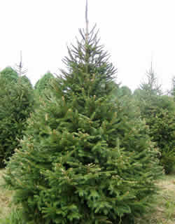 Norway Spruce Tree